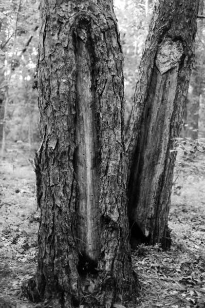 pines_of_weymouth_bw